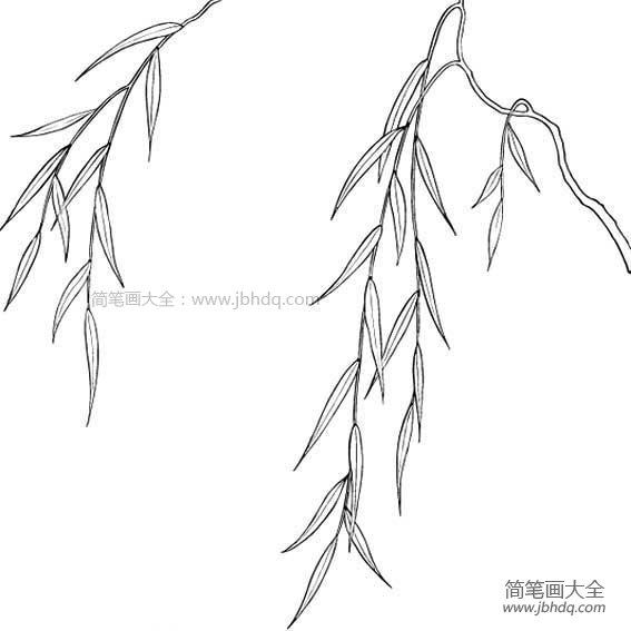 【柳树叶图片大全简笔画】柳树叶简笔画图片