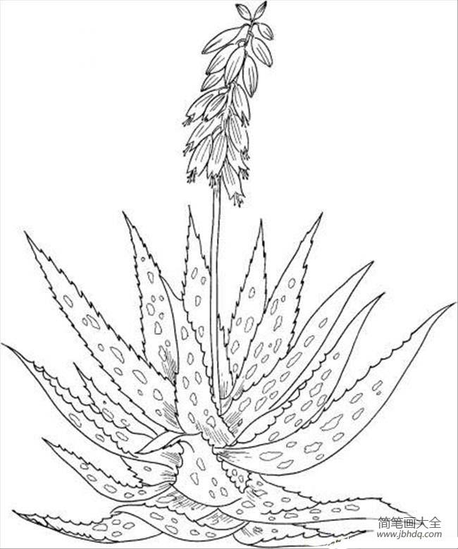 植物简笔画大全 芦荟简笔画图片