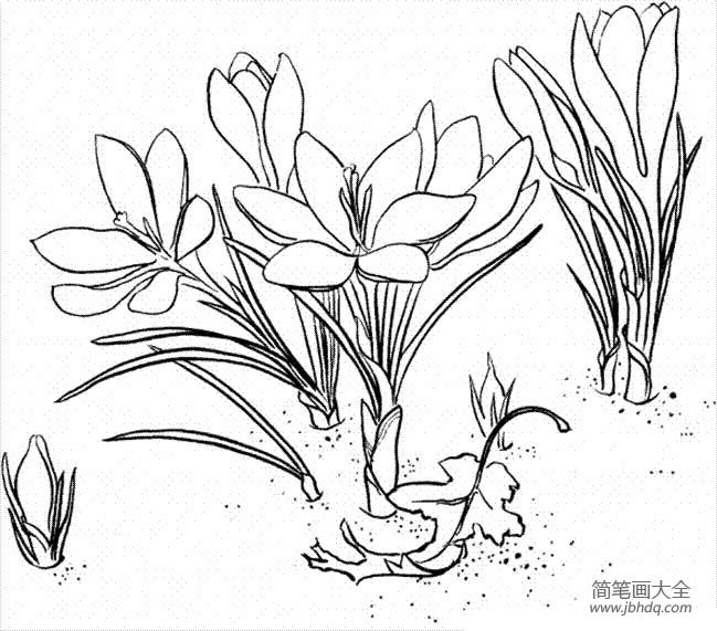 花朵图片 番红花简笔画画法