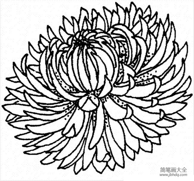 花朵图片 菊花的简笔画画法