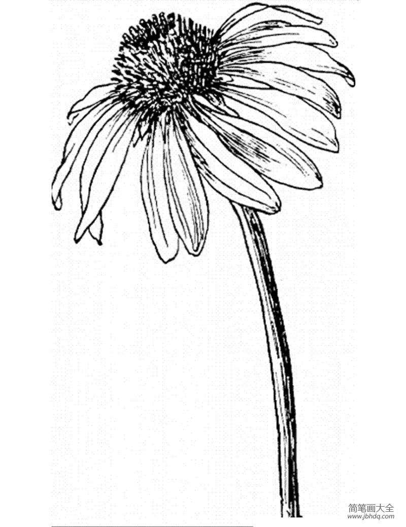 花朵图片 矢车菊简笔画画法
