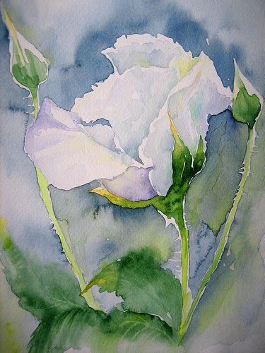 白色月季花植物水彩画作品欣赏