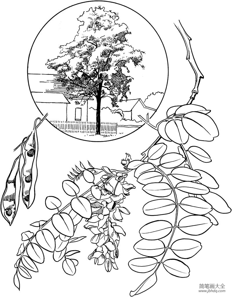 [槐树叶图片简笔画]槐树树枝简笔画图片