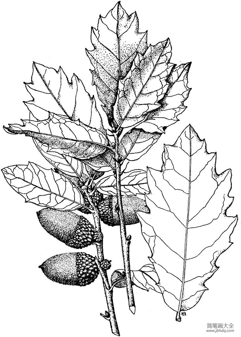 [橡树是什么树]橡树树叶和橡树果