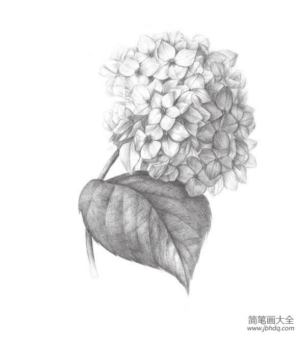 初级素描绘画教程_素描绣球花的绘画教程
