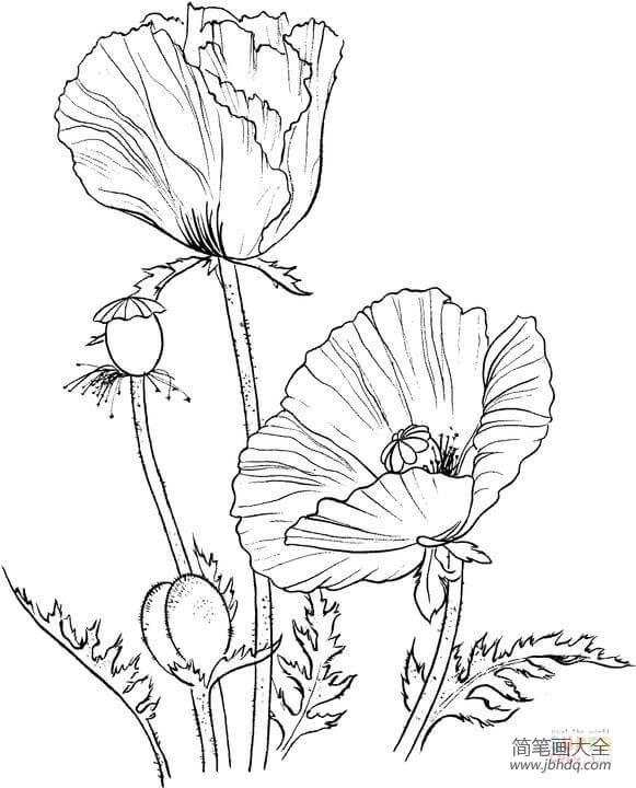 【罂粟花的花语和传说】罂粟花的传说