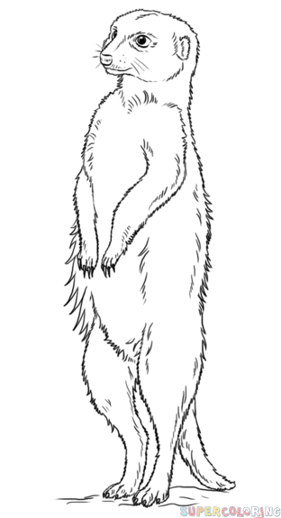 如何画kitty猫|如何画猫鼬