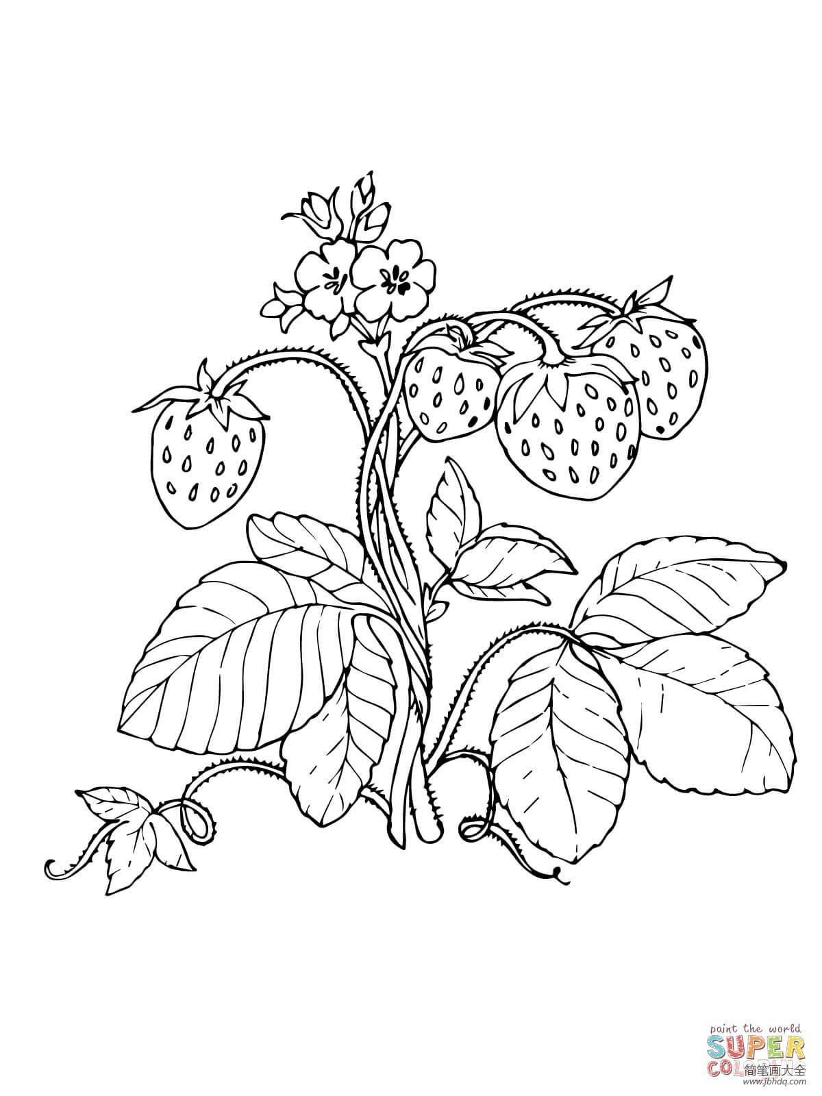 [藤上的草莓简笔画图片大全]藤上的草莓简笔画图片