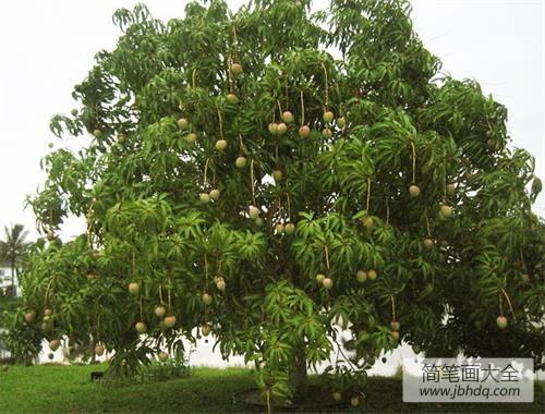 芒果树在北方能种植吗|芒果树为何被喻为树中硬骨头?