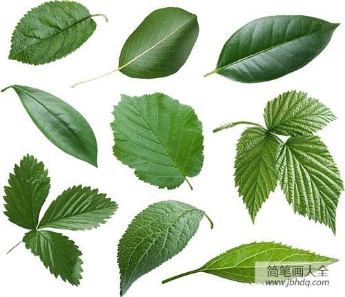 叶子的形状有哪些_为什么叶子的形状多种多样?