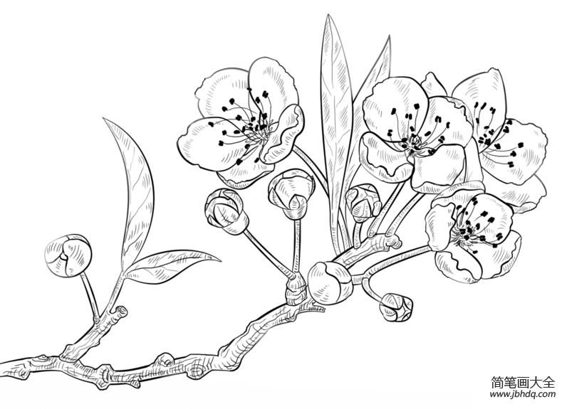 樱花怎么画_如何画樱花